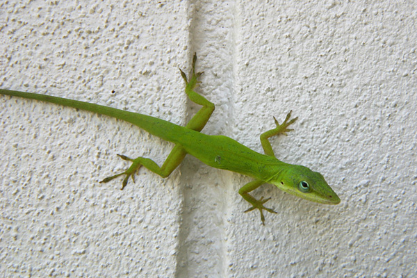 greenlizard